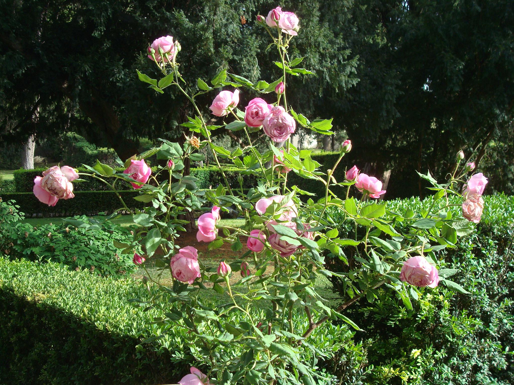 Villa D'Este roses
