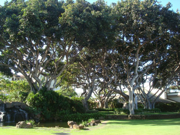 maui hotel trees